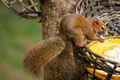 Squirrel or small gong, Small mammals on tree Stock Photography