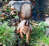 A squirrel Stock Image