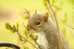 Squirrel Smelling Lilac Buds Royalty Free Stock Images