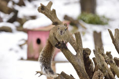 Squirrel smiling on the twig in the snowy scene. Stock Photo