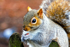 Squirrel snack Royalty Free Stock Images