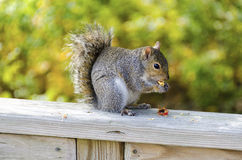 Squirrel with a snack. A squirrel enjoys a snack Stock Photography