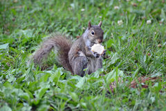 Squirrel with a Snack Royalty Free Stock Photos
