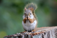 Squirrel Snack Time royalty free stock photo