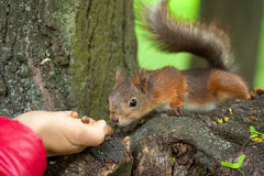 Squirrel sniffing nuts on the hand. Royalty Free Stock Images