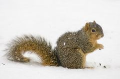 Squirrel in the snow royalty free stock images