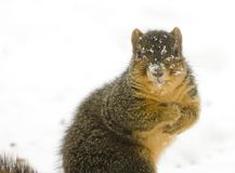 A squirrel in the snow stock images