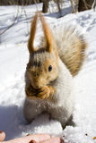 Squirrel on the snow. Squirrel  on the snow gnawing nuts of siberian pine Stock Images