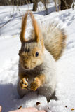 Squirrel on the snow. Squirrel  on the snow gnawing nuts of siberian pine Royalty Free Stock Photo