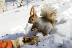 Squirrel on the snow. Squirrel  on the snow gnawing nuts of siberian pine Royalty Free Stock Photography