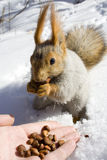 Squirrel on the snow. Gnawing nuts of siberian pine Stock Images