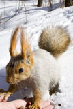 Squirrel on the snow. Gnawing nuts of siberian pine Royalty Free Stock Images