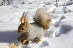 Squirrel on the snow. A squirrel on the snow Stock Photography