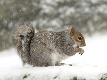 Squirrel in the snow Stock Photography