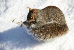 Squirrel in the snow Stock Images