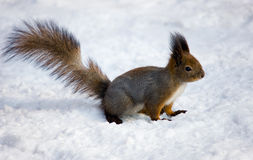 The squirrel on snow Royalty Free Stock Images