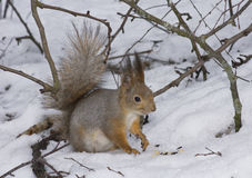 The squirrel on snow Royalty Free Stock Image