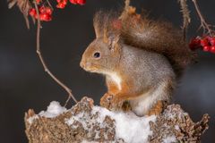 Squirrel and snow Stock Photo