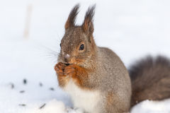 Squirrel on the snow closeup Stock Image