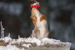 Squirrel snow dance Royalty Free Stock Images