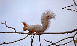Squirrel in the snow. Fluffy squirrel sits on a thin branch against the sky Royalty Free Stock Photography