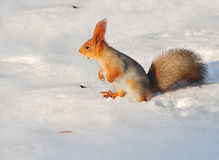 Squirrel in the snow. Fluffy squirrel sitting on the snow gnawing a crust of bread Stock Photos