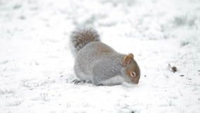 Squirrel in the Snow stock video footage