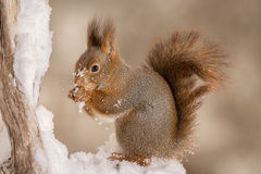 Squirrel in snow love Royalty Free Stock Photos