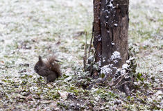 Squirrel in the snow next to a tree Royalty Free Stock Image