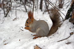 Squirrel at the snow Stock Photo
