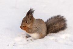Squirrel on the snow Stock Photos