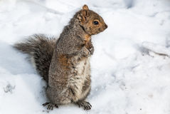 Squirrel in Snow Stock Photo