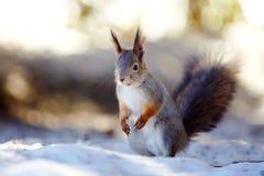 Squirrel on snow. Royalty Free Stock Photos