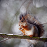 Squirrel on snow. Royalty Free Stock Image
