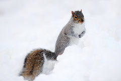 Squirrel with snow in winter Stock Photos