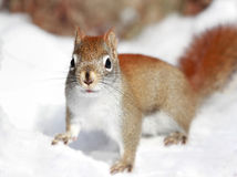 Squirrel in snow Stock Images