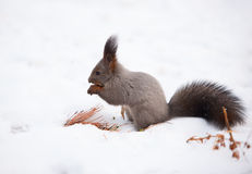 Squirrel on the snow stock images