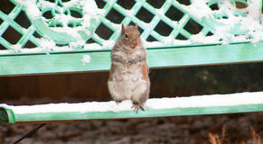 Squirrel snowball fight Royalty Free Stock Image