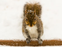 Squirrel in Snowstorm. A squirrel looks for food during a snowstorm Royalty Free Stock Photography