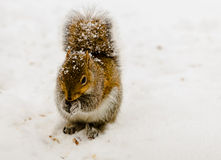 Squirrel in Snowstorm. A squirrel looks for food during a snowstorm Stock Image