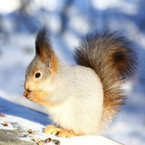Squirrel in snowy park. Squirrel eating nuts on the bench in snowy park Royalty Free Stock Images