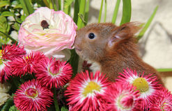 Squirrel among some flowers Royalty Free Stock Image