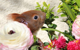 Squirrel among some flowers Royalty Free Stock Photos