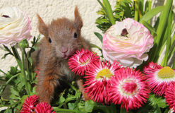 Squirrel among some flowers Stock Photos
