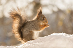 Squirrel with some snow cover. Profile and close up of red squirrel with snow on the face Stock Photography