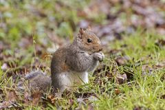 A squirrel on Southampton Common. A squirrel standing on his haunches eating Southampton Common, Hampshire, UK Stock Image