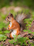 The squirrel in the spring Royalty Free Stock Photo