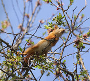 Squirrel in spring birch branches. Early spring squirrel the little squirrel peeks Royalty Free Stock Photo