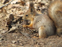 Squirrel. Stock Image
