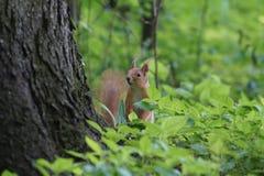 Squirrel Stock Images